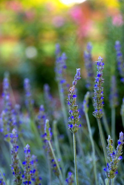 Fresh lavender growing in our garden