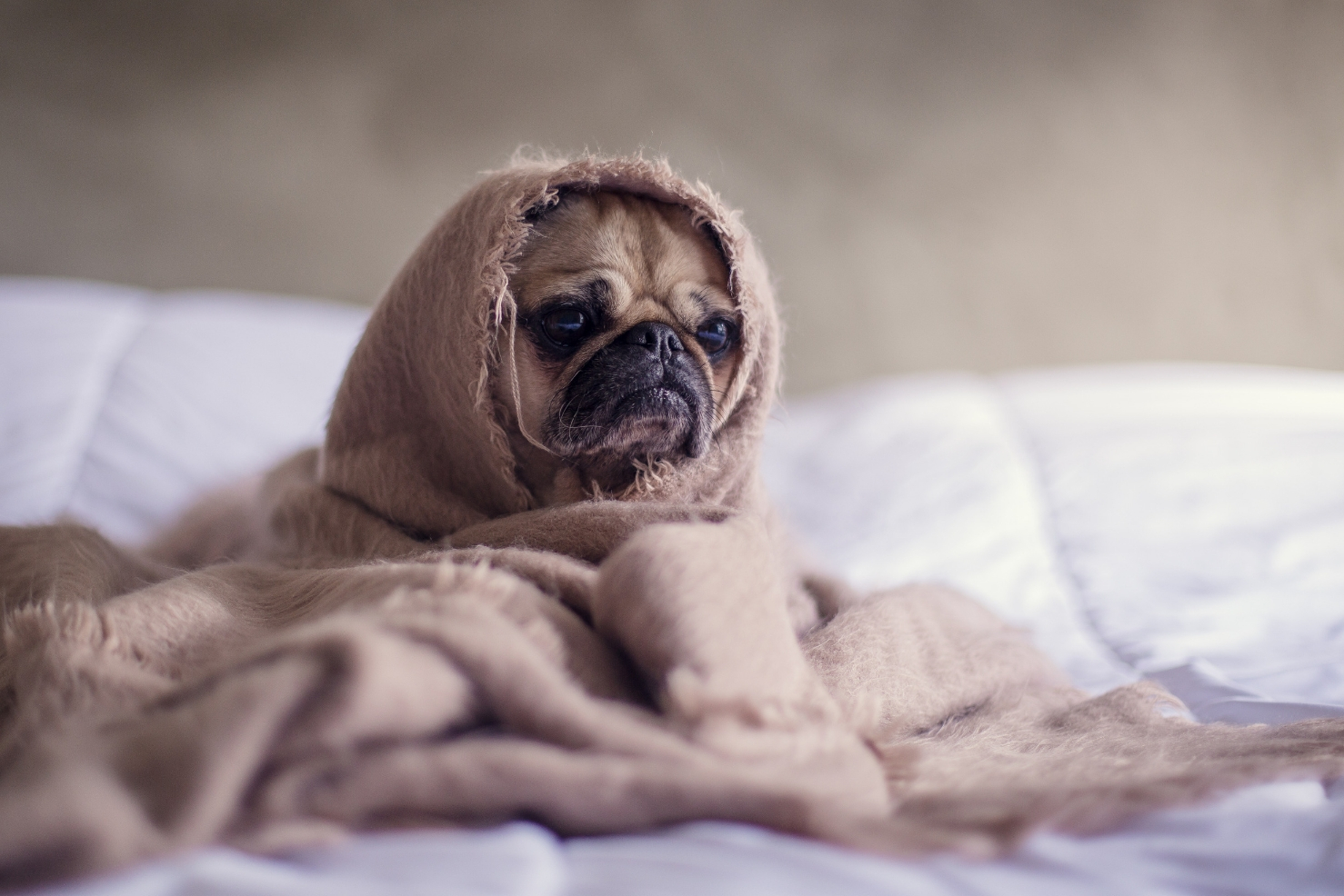 A grumpy pug dog in a blanket - keto flu assistance ideas