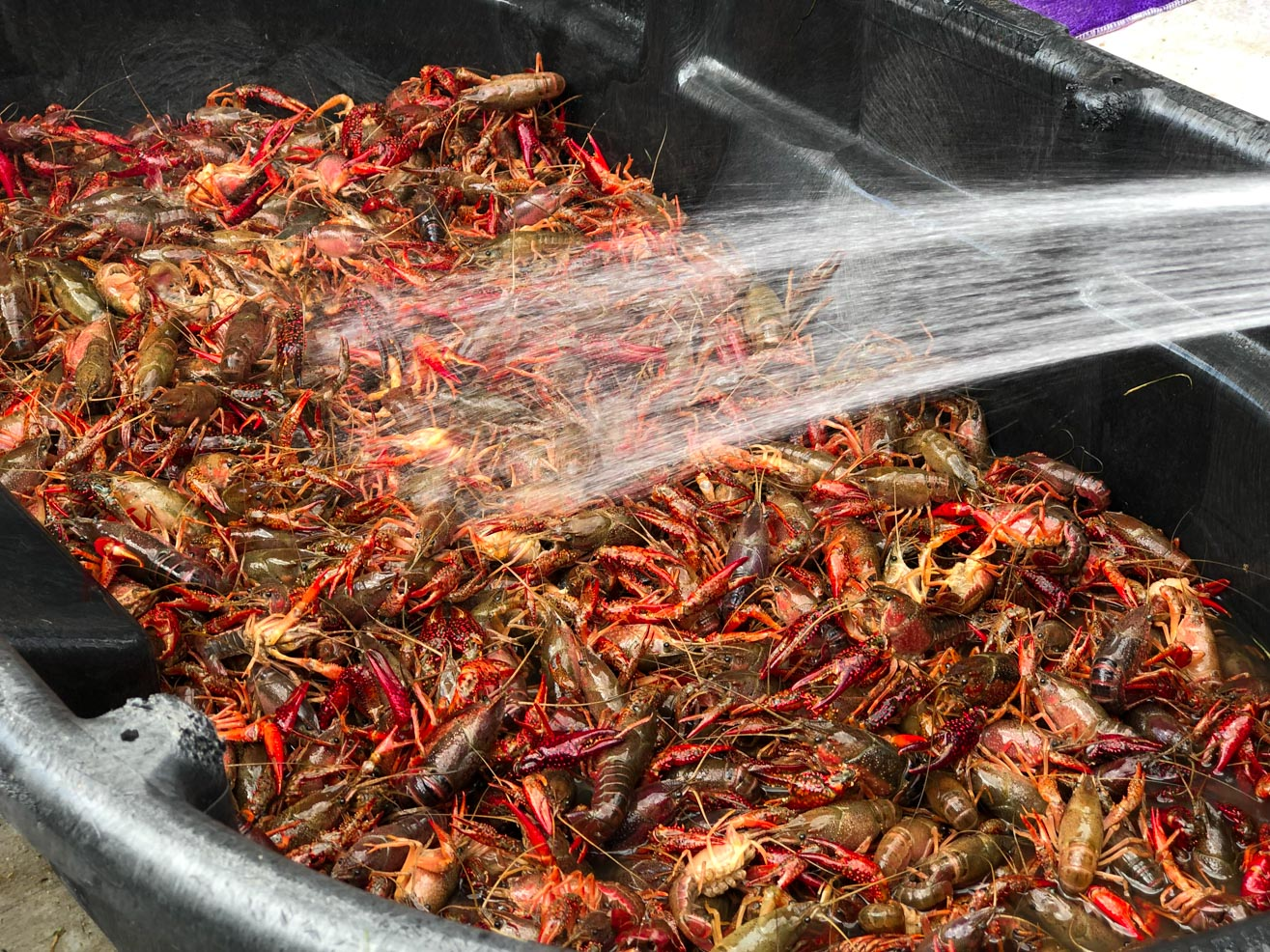 How to throw a crawfish boil - cleaning the crawfish