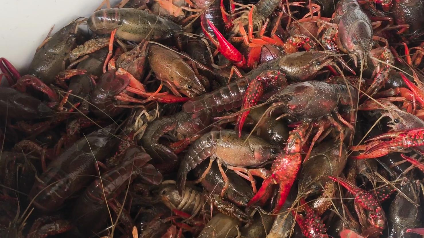 Live crawfish - close up