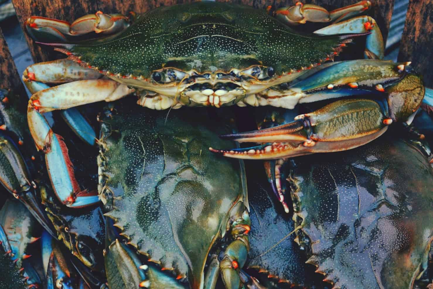 A stack of shiny blue crabs